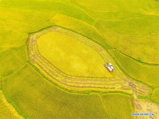 A harvester works in the rice field in Shuangfeng County, central China's Hunan Province, Sept. 6, 2018. (Xinhua/Li Jianxin)