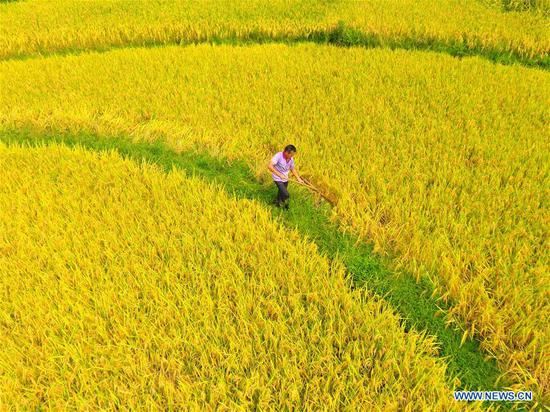 A farmer works in the rice field in Shuangfeng County, central China's Hunan Province, Sept. 6, 2018. (Xinhua/Li Jianxin)