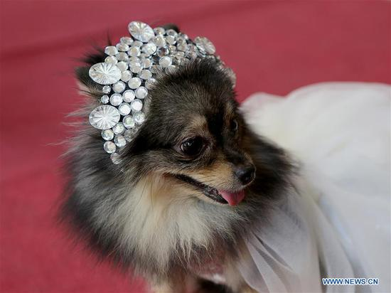 A pet dog dressed like a princess walks on a red carpet during a pet parade in Quezon City, the Philippines, Oct. 7, 2018. (Xinhua/Rouelle Umali)