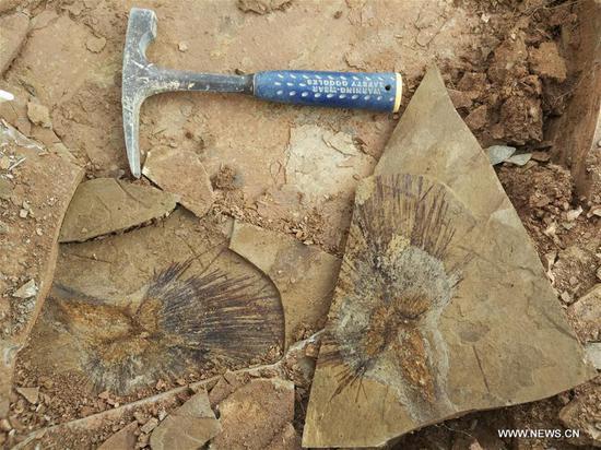 化石叶揭示青藏高原的形成 1