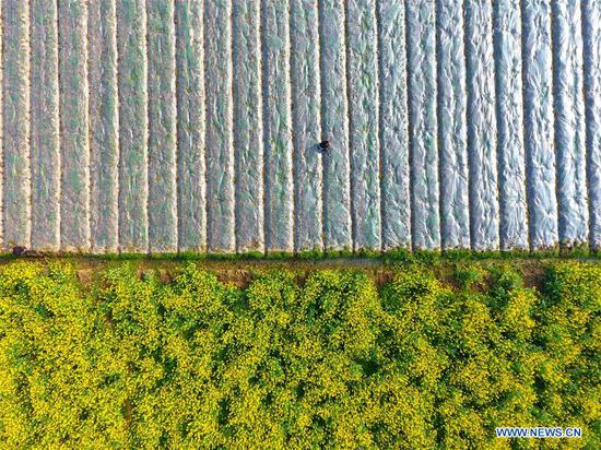 Aerial photo taken on March 11, 2019 shows villages transplanting peppers in fields at Diping Village of Zimenqiao Township in Shuangfeng County, central China's Hunan Province. With the temperature rising, farmers are busy with their farm work. (Xinhua/Li Jianxin)