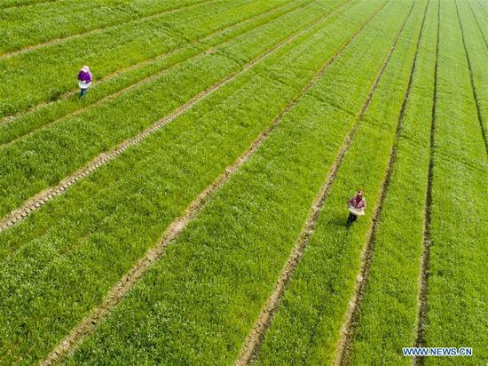 Photo taken on March 14, 2019 shows farmers working in fields at a farm in Hai'an County of Nantong City, east China's Jiangsu Province. (Xinhua/Xu Jinbai)