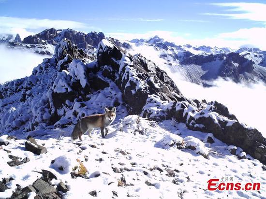 Photos taken by infrared cameras show a great variety of wild animals including snow leopards, sambar deer, red fox and alpine musk deer inhabit the headstreams of the Lancang River, yellow river and Yangtze River in Yushu Tibetan Autonomous Prefecture, Qinghai Province. (Photo provided to China News Service)