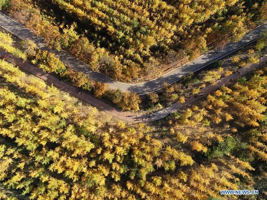 Aerial photo taken on Oct. 31, 2019 shows ginkgo trees along a road in Luanxie Village of Shahe City, north China's Hebei Province. The Taihang mountains attract lots of visitors as the leaves change colors in autumn. (Xinhua/Xing Guangli)