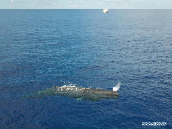 Aerial photo taken on July 24, 2020 shows a sperm whale in the South China Sea. Chinese researchers have spotted 11 whale species in the South China Sea during a deep-sea scientific expedition, the Chinese Academy of Sciences said Tuesday. (Xinhua/Zhang Liyun)