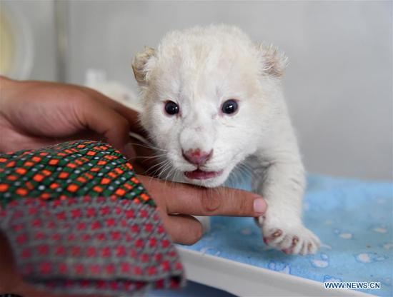 A newborn white lion cub is pictured at Wild World Jinan, a wildlife park in Jinan, capital of east China's Shandong Province, Oct. 9, 2019. A white lion mother gave birth to a pair of twin cubs on Oct. 2 at Wild World Jinan. The two newborn cubs, a male and a female, are in good health condition and will meet public visitors following an observation period. The white lion is a rare wildlife species mostly found in southern Africa. (Xinhua/Wang Kai)
