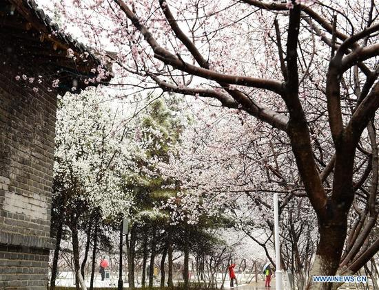 People view peach flowers in snow at a park in Hohhot, capital of north China's Inner Mongolia Autonomous Region, April 3, 2018. A cold front brought snowfall to the city in early spring time. (Xinhua/Deng Hua)