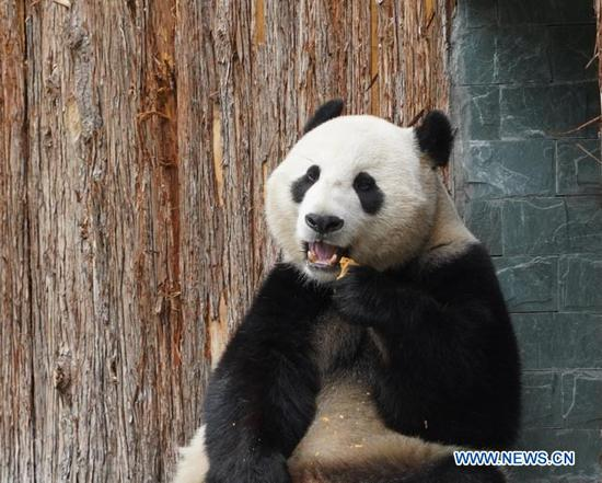Giant panda Xiao Liwu is seen feeding itself at the newly-opened Jiawuhai Giant Panda Conservation and Research Park in Jiuzhaigou County, the Aba Tibetan and Qiang Autonomous Prefecture, southwest China's Sichuan Province, Nov. 6, 2019. The Jiawuhai Giant Panda Conservation and Research Park officially opened here on Wednesday. The facility will serve as the new home for four giant pandas, namely Xin Xin, Tian Tian, Hai Hai and Xiao Liwu (meaning