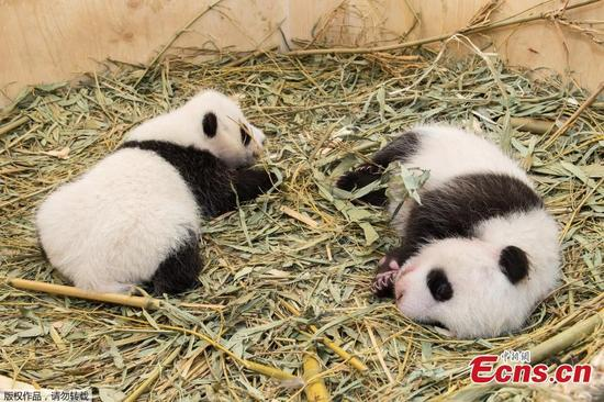 Twin pandas play in the Tiergarten Schonbrunn zoo in Vienna, Austria, Sept. 28, 2016. Initially the zoo thought mother Yang Yang had only given birth to one panda on August 7 because the delivery happened inside a dark nesting box and was only observed via an infrared camera. More than a week passed before zookeepers realized there was a second one. (Photo/Agencies)
