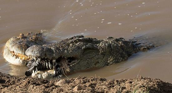 Photos taken in Kenya's Masai Mara National Reserve shows a giant crocodile swallowing a whole zebra. The crocodile floated in the water, with a zebra's head in his mouth. He even fought with another crocodile for the feast. The photos have displayed the brutal competition of life, which might seem scaring to many. The photographer Subramanian Sridharan said this is how nature works.