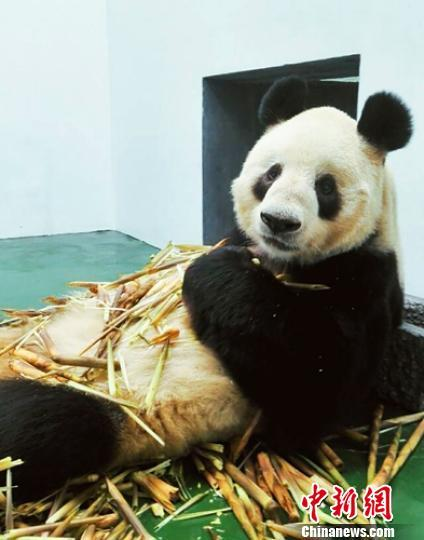 Cobi, a giant panda named after the mascot of the 1992 Barcelona Olympic Games, died this month at the age of 25 at a zoo in Chengdu