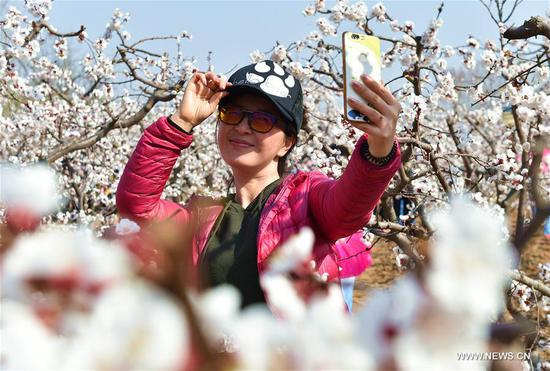 A woman takes selfie at an apricot farm in Xiaxian County under Yuncheng City, north China's Shanxi Province, March 14, 2017. (Xinhua/Cao Yang)
