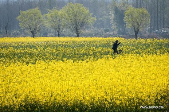 A villager walks through a cole flower field in Yixian County of Huangshan City, east China's Anhui Province, March 15, 2017. (Xinhua/Zhang Duan)