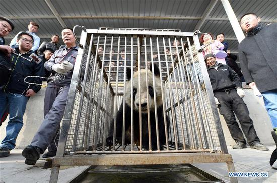 Giant panda Shu Lan waits for transportation at the airport in Lanzhou, capital of northwest China's Gansu Province, March 16, 2017. The 23-year-old giant panda will leave Lanzhou on Thursday for her hometown in southwest China's Sichuan Province due to health concerns. The Lanzhou zoo held a farewell party for Shu Lan on Thursday morning. Many locals came to say goodbye. Experts said Shu Lan is in normal health, but concluded that she has shown some symptoms of aging, such as weight loss. Her age is equivalent to about 70 human years. Therefore, experts suggested sending Shu Lan to a conservation and research center for Giant Panda in Sichuan to help her maintain her health. (Xinhua/Fan Peichen)