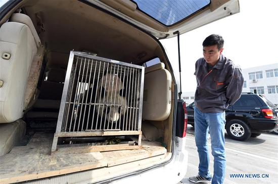 A staff member checks the condition of giant panda Shu Lan in Lanzhou, capital of northwest China's Gansu Province, March 16, 2017. The 23-year-old giant panda will leave Lanzhou on Thursday for her hometown in southwest China's Sichuan Province due to health concerns. The Lanzhou zoo held a farewell party for Shu Lan on Thursday morning. Many locals came to say goodbye. Experts said Shu Lan is in normal health, but concluded that she has shown some symptoms of aging, such as weight loss. Her age is equivalent to about 70 human years. Therefore, experts suggested sending Shu Lan to a conservation and research center for Giant Panda in Sichuan to help her maintain her health. (Xinhua/Fan Peichen)
