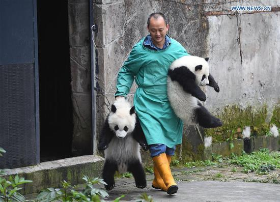 A zoo keeper carries Yu Bao (R) and Yu Bei to the public at Chongqing Zoo in Chongqing, southwest China, March 18, 2017. The names were revealed at a naming celebration for three panda cubs Yu Bao, Yu Bei and Liang Yue on Saturday. (Xinhua/Chen Cheng)