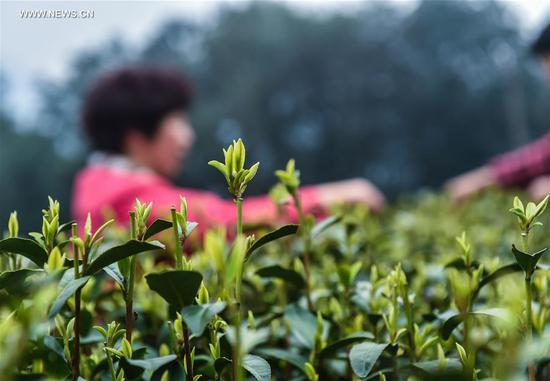 "Photo taken on March 18, 2017 shows fresh West Lake Longjing tea leaves in a tea plantation in Meijiawu Village of Hangzhou, capital of east China's Zhejiang Province. West Lake Longjing Tea planters in Hangzhou are busy with their harvest work ahead of the Qingming Festival to produce the Mingqian (literally ""pre-Qingming"") tea, which are made of the very first tea sprouts in spring and considered to be of high quality. (Xinhua/Xu Yu)"