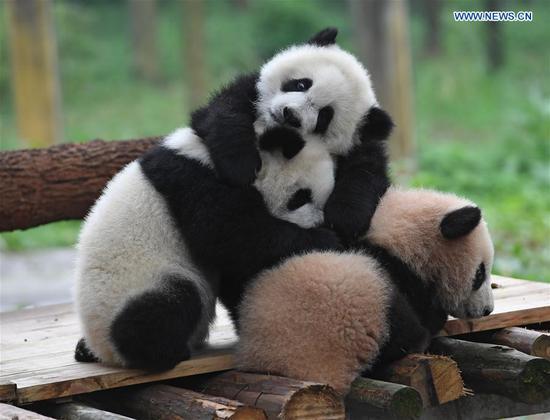 Giant panda cubs Yu Bao, Yu Bei and Liang Yue meet the public at Chongqing Zoo in Chongqing, southwest China, March 18, 2017. The names were revealed at a naming celebration for three panda cubs Yu Bao, Yu Bei and Liang Yue on Saturday. (Xinhua/Chen Cheng)