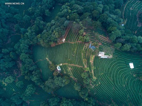 "Aerial view taken on March 18, 2017 shows a tea plantation in Meijiawu Village of Hangzhou, capital of east China's Zhejiang Province. West Lake Longjing Tea planters in Hangzhou are busy with their harvest work ahead of the Qingming Festival to produce the Mingqian (literally ""pre-Qingming"") tea, which are made of the very first tea sprouts in spring and considered to be of high quality. (Xinhua/Xu Yu)"