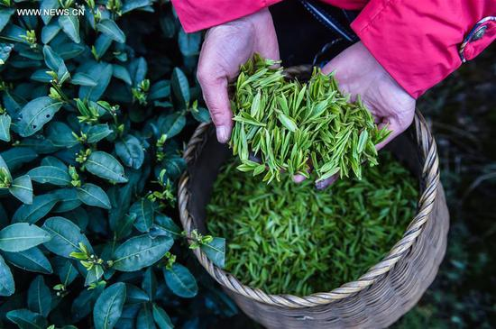 "A farmer displays fresh West Lake Longjing tea leaves in a tea plantation in Meijiawu Village of Hangzhou, capital of east China's Zhejiang Province, March 18, 2017. West Lake Longjing Tea planters in Hangzhou are busy with their harvest work ahead of the Qingming Festival to produce the Mingqian (literally ""pre-Qingming"") tea, which are made of the very first tea sprouts in spring and considered to be of high quality. (Xinhua/Xu Yu)"