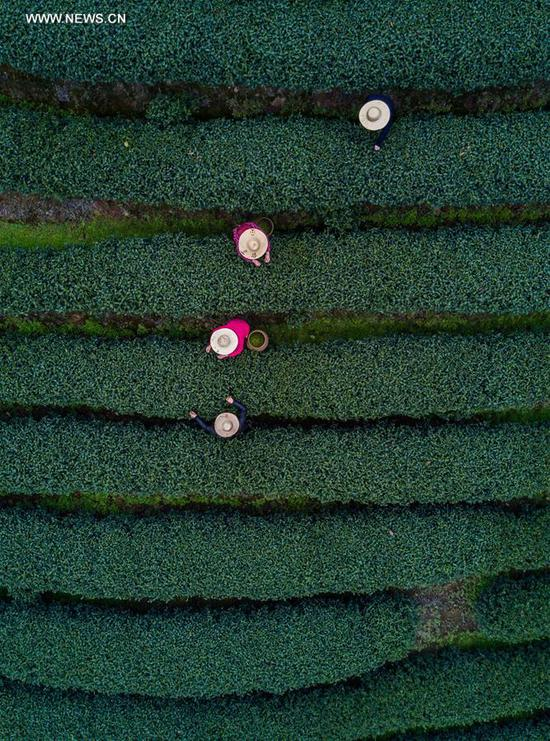 "Aerial view taken on March 18, 2017 shows farmers picking fresh West Lake Longjing tea leaves in a tea plantation in Meijiawu Village of Hangzhou, capital of east China's Zhejiang Province. West Lake Longjing Tea planters in Hangzhou are busy with their harvest work ahead of the Qingming Festival to produce the Mingqian (literally ""pre-Qingming"") tea, which are made of the very first tea sprouts in spring and considered to be of high quality. (Xinhua/Xu Yu)"