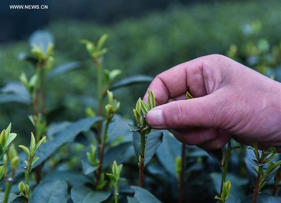 "A farmer picks fresh West Lake Longjing tea leaves in a tea plantation in Meijiawu Village of Hangzhou, capital of east China's Zhejiang Province, March 18, 2017. West Lake Longjing Tea planters in Hangzhou are busy with their harvest work ahead of the Qingming Festival to produce the Mingqian (literally ""pre-Qingming"") tea, which are made of the very first tea sprouts in spring and considered to be of high quality. (Xinhua/Xu Yu)"