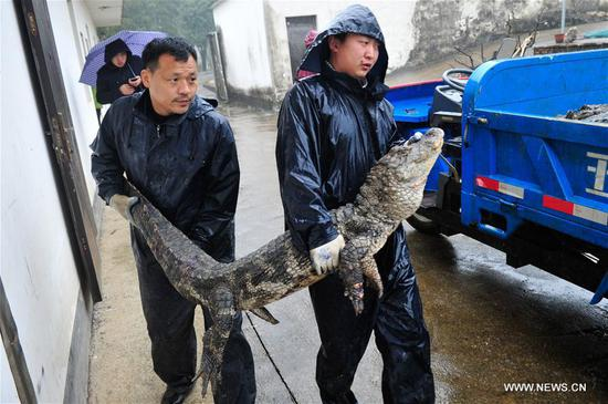 A Yangtze alligator is seen outside its living area in Xuancheng, east China's Anhui Province, March 19, 2017. After over four months of dormant period, more than 13,000 Yangtze alligators in Xuancheng Yangtze alligator national conservation area began to be transferred to the outdoor in order to make them enjoy the warm sunshine of spring. (Xinhua/Meng Dingbo)