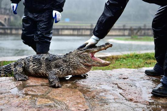 Staff members carry Yangtze alligators beside their living area outside in Xuancheng, east China's Anhui Province, March 19, 2017. After over four months of dormant period, more than 13,000 Yangtze alligators in Xuancheng Yangtze alligator national conservation area began to be transfered to the outdoor in order to make them enjoy the warm sunshine of spring. (Xinhua/Meng Dingbo)