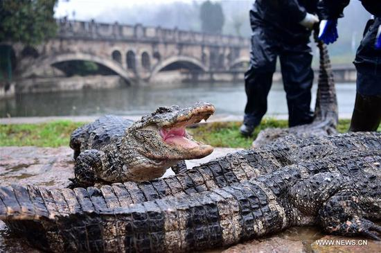 A young Yangtze alligator is weighed in Xuancheng, east China's Anhui Province, March 19, 2017. After over four months of dormant period, more than 13,000 Yangtze alligators in Xuancheng Yangtze alligator national conservation area began to be transfered to the outdoor in order to make them enjoy the warm sunshine of spring. (Xinhua/Meng Dingbo)