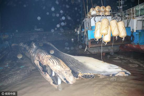 It is reported that this is the third whale found near Pudong District of Shanghai, also the largest one. The cause of the whale's death is unclear. Investigation is under way.