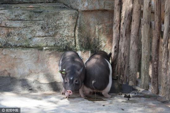 Two cloned piglets were displayed in the Shenzhen Safari Park in Shenzhen city, Guangdong province on March 27. The pigs, developed by a Shenzhen-based genomics company named BGI, have a much smaller size than usual ones. The adult pigs wouldn't weigh over 15 kg, according to staff members.