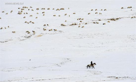 A herdsman attends a herd of sheep grazing on Bayan Bulag grassland in Hejing County, northwest China's Xinjiang Uygur Autonomous Region, April 6, 2017. In April, Bayan Bulag grassland enters into its busiest season for sheep breeding. (Xinhua/Jiang Wenyao)