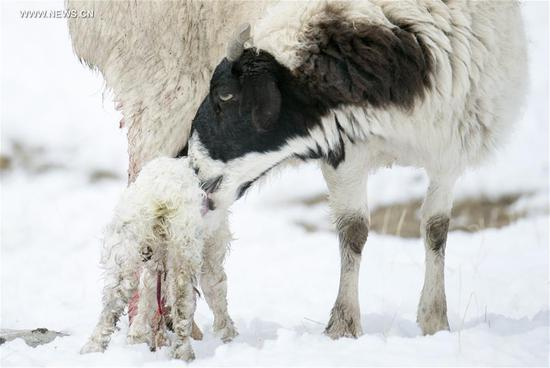 A sheep licks her new-born lamb on Bayan Bulag grassland in Hejing County, northwest China's Xinjiang Uygur Autonomous Region, April 6, 2017. In April, Bayan Bulag grassland enters into its busiest season for sheep breeding. (Xinhua/Jiang Wenyao)