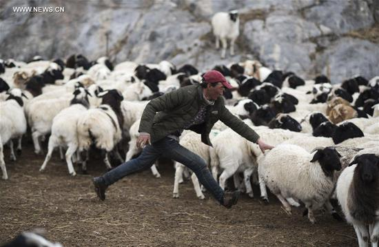 A herdsman tries to catch a sheep on Bayan Bulag grassland in Hejing County, northwest China's Xinjiang Uygur Autonomous Region, April 7, 2017. In April, Bayan Bulag grassland enters into its busiest season for sheep breeding. (Xinhua/Jiang Wenyao)