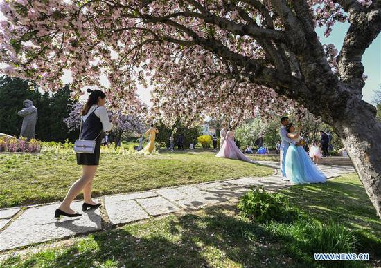 A tourist walks past blooming begonia trees during a flower tour event in Qingdao, east China's Shandong Province, April 18, 2017. (Xinhua/Li He)