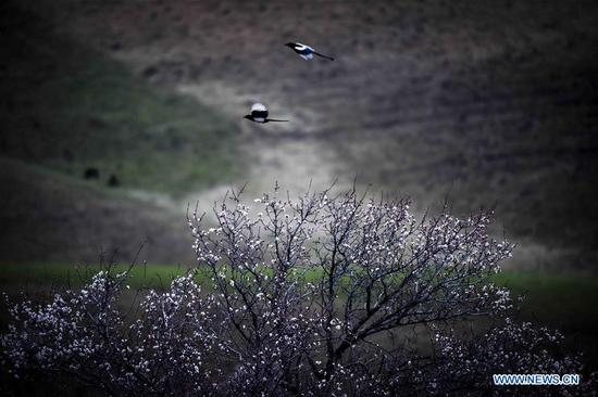 Magpies fly over apricot trees in