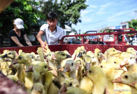Villager Chen Yuecong (R) and his wife receive goslings at Fanyang Township of Wuzhishan City, south China's Hainan Province, May 9, 2017. As part of poverty alleviation project, local agriculture bureau of Wuzhishan City distributed 6161 goslings to members of 84 families in several villages of Fanyan Township on Tuesday. (Xinhua/Shen Hong)