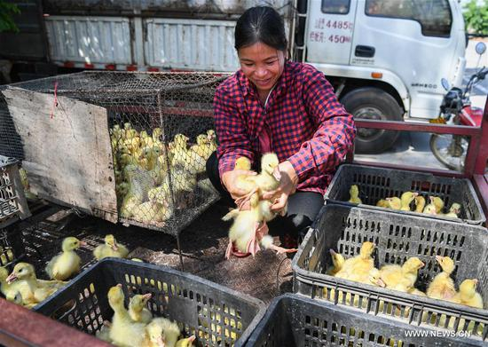 Villager Wang Haihua receives goslings at Fanyang Township of Wuzhishan City, south China's Hainan Province, May 9, 2017. As part of poverty alleviation project, local agriculture bureau of Wuzhishan City distributed 6161 goslings to members of 84 families in several villages of Fanyan Township on Tuesday. (Xinhua/Shen Hong)