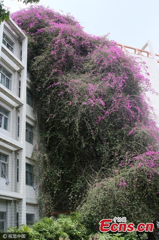 A great bougainvillea is in full blossom at the Xiuyuan Campus of Guangxi University in Nanning City, capital of South China's Guangxi Zhuang Autonomous Region, May 14, 2017. The flowering plant is 24 years old and stands 30 meters tall to form a spectacular 'flower waterfall' leaning over a teaching building. (Photo/VCG)