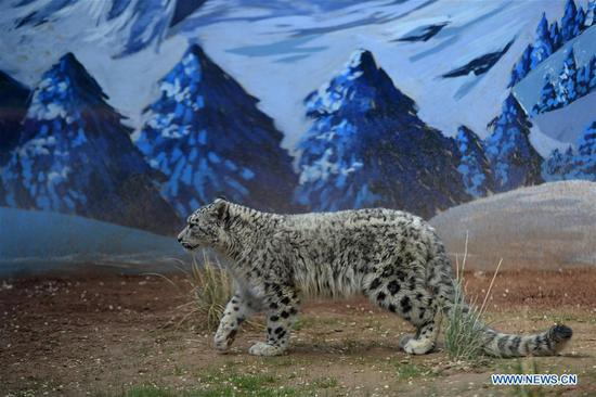 A snow leopard cub walks in the wildlife zoo in Xining, capital of northwest China's Qinghai Province, June 10, 2017. The female cub, the only snow leopard alive by artificial breeding in China, turned one year old on Saturday. (Xinhua/Zhang Hongxiang)