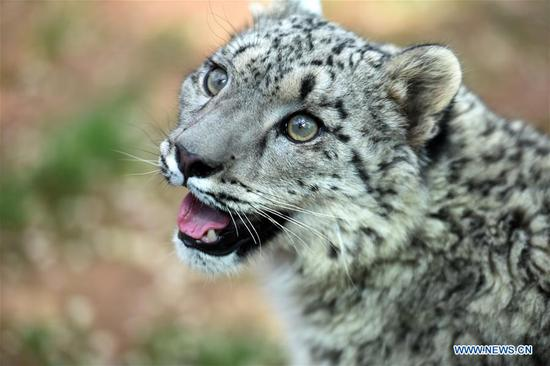 A snow leopard cub is seen in the wildlife zoo in Xining, capital of northwest China's Qinghai Province, June 10, 2017. The female cub, the only snow leopard alive by artificial breeding in China, turned one year old on Saturday. (Xinhua/Zhang Hongxiang)