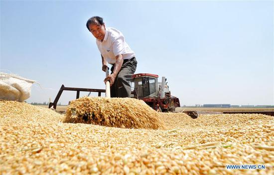A farmer arranges harvested wheat in Nanpi County, north China's Hebei Province, June 11, 2017. More than 70 percent of summer wheat have been harvested across the country. (Xinhua/Mu Yu)