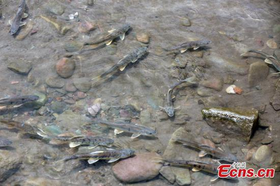 Adult migratory naked carps seen in qinghai province for The naked fish