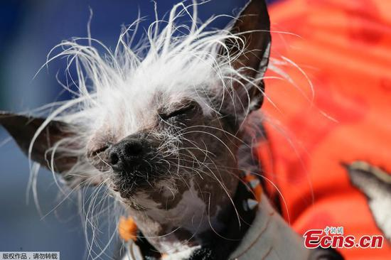 A dog waits to compete in the world's ugliest dog contest. The World's Ugliest Dog competition is part of the Sonoma-Marin Fair in Petaluma, Calif., and features adoptable and previously adopted dogs that are judged based on appearance and personality.(Photo/Agencies)