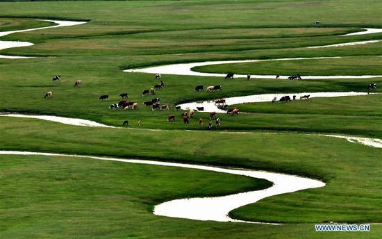 Photo taken on July 15, 2017 shows cattle in Shandianhe National Wetland Park in Guyuan County, north China's Hebei Province. (Xinhua/Yang Shiyao)