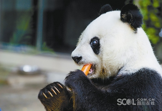 Basi, the world's oldest captive panda, has died at the age of 37