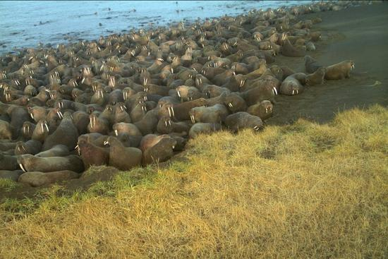 The U.S. Fish and Wildlife Service says 64 walruses died on the northwest Alaska beach and the animals may have been killed in stampede