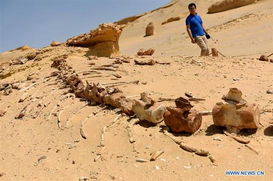 A tourist looks at whale fossils in the natural reserve area of Wadi Al-Hitan, or the Valley of Whales, in Fayoum Governorate, Egypt, on Sept. 27, 2017. Wadi Al-Hitan, or the Valley of Whales, is a paleontological site in the Fayoum Governorate of Egypt. Wadi Al-Hitan contains invaluable fossil remains of the earliest, and now extinct, suborder of whales, Archaeoceti. It was designated a United Nations Educational, Scientific and Cultural Organization (UNESCO) World Heritage Site in 2005. (Xinhua/Zhao Dingzhe)