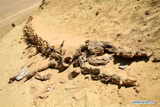 Whale fossils are seen in the natural reserve area of Wadi Al-Hitan, or the Valley of Whales, in Fayoum Governorate, Egypt, on Sept. 27, 2017. Wadi Al-Hitan, or the Valley of Whales, is a paleontological site in the Fayoum Governorate of Egypt. Wadi Al-Hitan contains invaluable fossil remains of the earliest, and now extinct, suborder of whales, Archaeoceti. It was designated a United Nations Educational, Scientific and Cultural Organization (UNESCO) World Heritage Site in 2005. (Xinhua/Zhao Dingzhe)