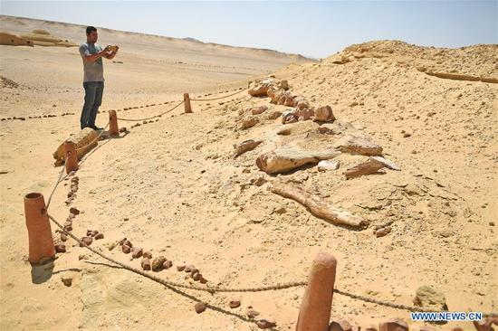 A tourist takes photos of whale fossils in the natural reserve area of Wadi Al-Hitan, or the Valley of Whales, in Fayoum Governorate, Egypt, on Sept. 27, 2017. Wadi Al-Hitan, or the Valley of Whales, is a paleontological site in the Fayoum Governorate of Egypt. Wadi Al-Hitan contains invaluable fossil remains of the earliest, and now extinct, suborder of whales, Archaeoceti. It was designated a United Nations Educational, Scientific and Cultural Organization (UNESCO) World Heritage Site in 2005. (Xinhua/Zhao Dingzhe)